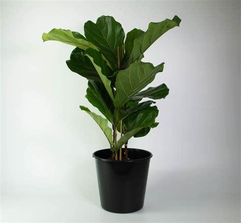 fiddle leaf fig large  lovely plantandpotnz