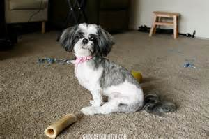 pictures of shih tzu haircuts shih tzu haircuts that will make you swoon lots of pics
