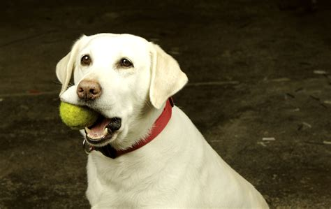 tennis balls for dogs tennis balls teeth wear animal care clinic