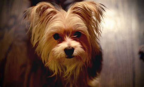 yorkies symptoms sponky the yorkie is itchy radio pet network