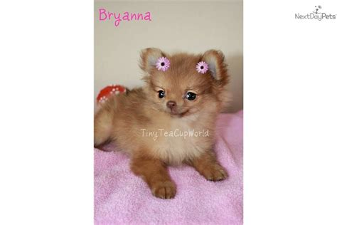 blue eyed pomeranian puppies for sale pomeranian puppy for sale near arizona ea939472 90a1