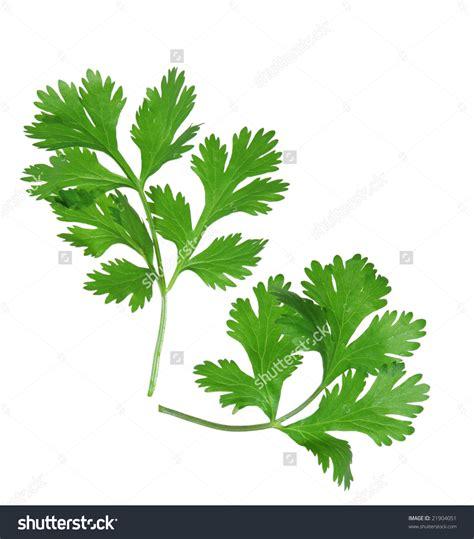 coriander cilantro coriander clipart clipground