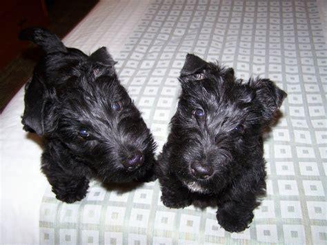 scottie dogs for sale scottish terrier puppies for sale in dover delaware de neck view