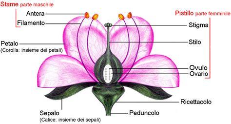 struttura fiore le antere sono una parte terminale degli stami gli organ
