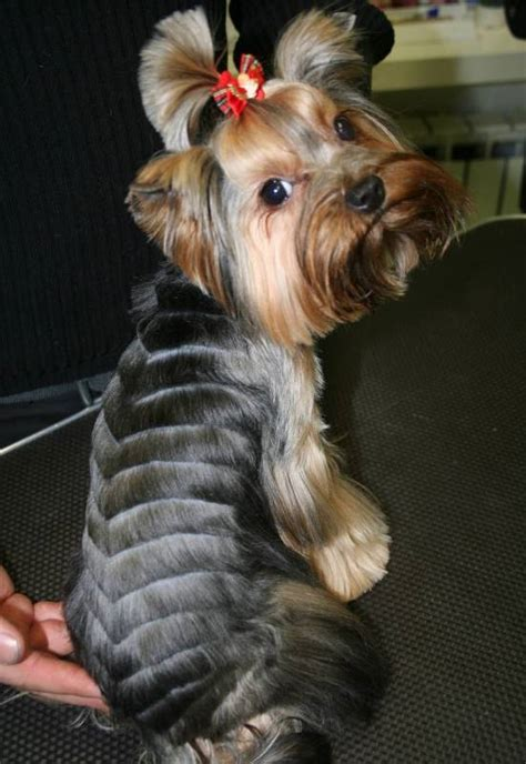 yorkie haircuts for males and females 60 pictures yorkie haircuts for males and females 60 pictures