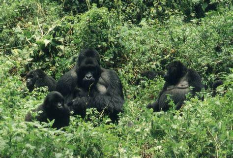 Gorillagruppen - Berggorilla & Regenwald Direkthilfe e.V.