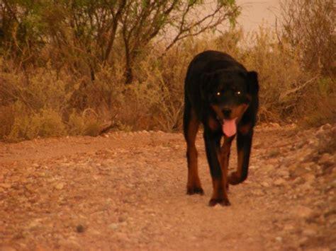 valley fever in dogs valley fever in dogs coccidiomycosis