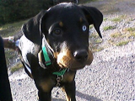 different colored rottweilers is two different eye colors a of rottweilers