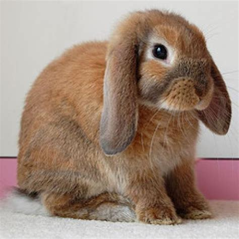 lop eared rabbits are bred specifically for pet and show purposes
