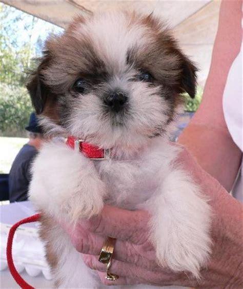 maltese shih tzu newborn puppies puppy dogs shih tzu puppies