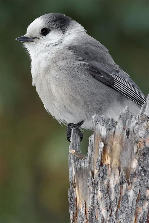 gray jay print by paul reeves