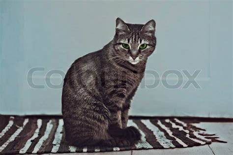Cat On Rugs by Striped Cat Sitting On A Striped Rug Stock Photo