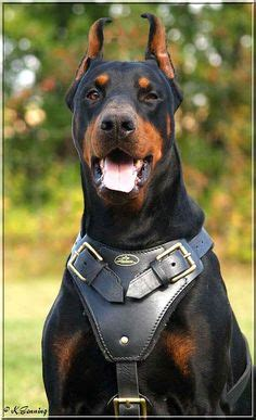 his name was my with a remarkable doberman pinscher books 1000 images about hunds on belgium malinois