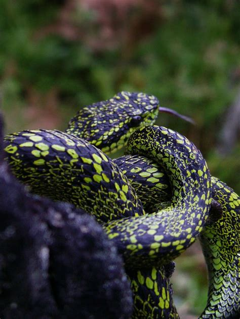 Garden Viper Snake 1290 Best Images About No Friend Of Mine On
