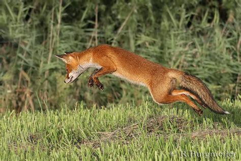 jacht und hund 2019 de vos wbe broek duin