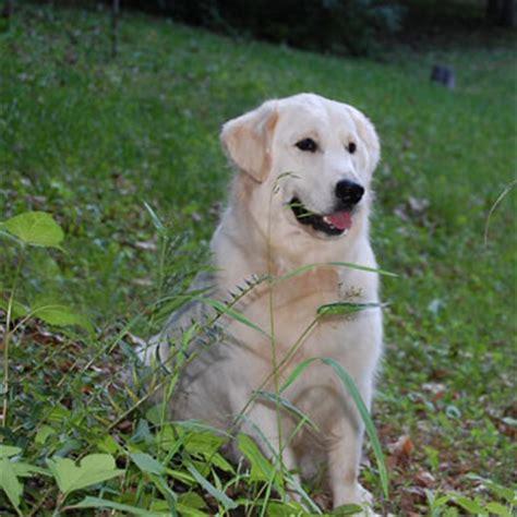 white oak golden retrievers current litters white golden retriever puppies