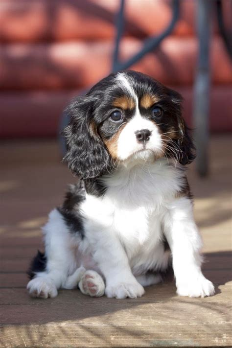 best puppies to get pet s we top 5 best breeds to get along with cats