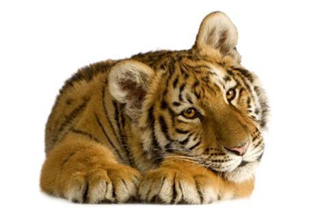 sognare una tigre in casa tigre domestica l animale esotico pi 249 cercato tutto ze