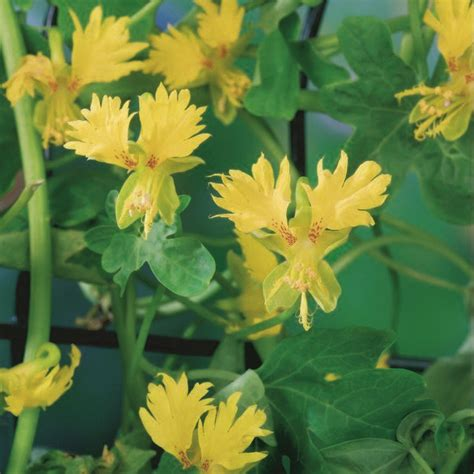F1 Canary Sed seeds flower seeds a leading supplier of vegetable seeds and flower seeds kingsseeds