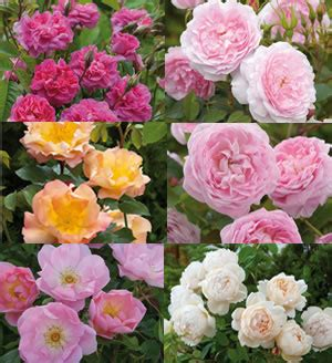 david austin roses introduces six new roses in spring 2013
