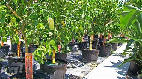 florida fruit trees for sale fruit tree sales and installation service ft myers area