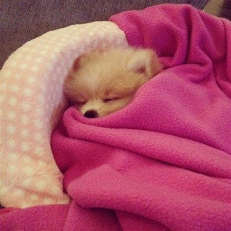sleeping pomeranian sleeping pom color shades of pink