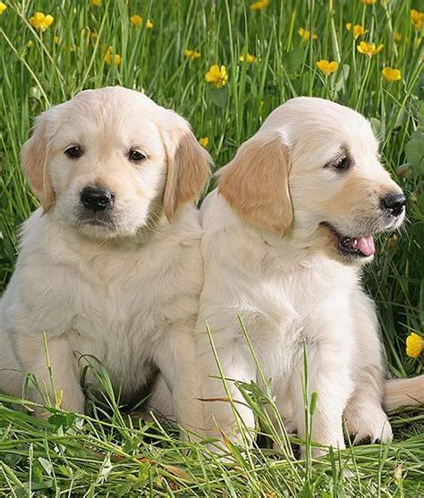 small breed golden retriever 5 breeds vets worry about the most golden retriever
