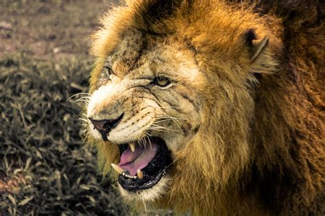 Of Lions amazing physical and behavioral adaptations of lions