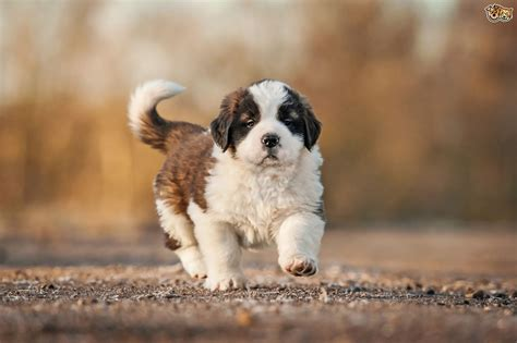 puppy bernard bernard breed information buying advice photos and facts pets4homes