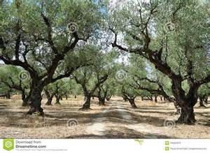 olive tree grove royalty free stock photo image 34564975