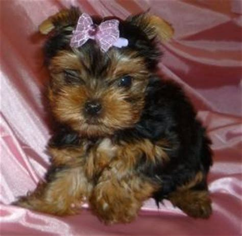 yorkie information and facts teacup yorkies health care information and facts about teacup yorkie puppies