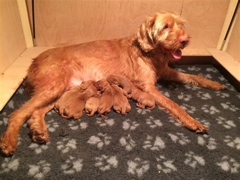 vizsla puppies iowa for puppie sale vizsla breeds picture