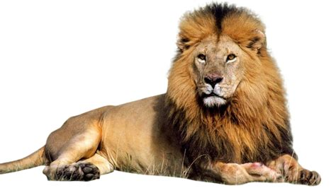 Of Lions png images