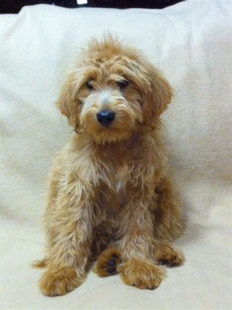 goldendoodle puppy breathing fast miniature golden doodle out of heart2heartdoodles website