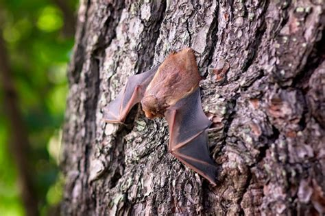 how to get rid of bats in your house how to get rid of bats in the attic new england today