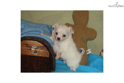 chi poo puppies for sale chi poo chipoo puppy for sale near texoma 4d930523 2e51