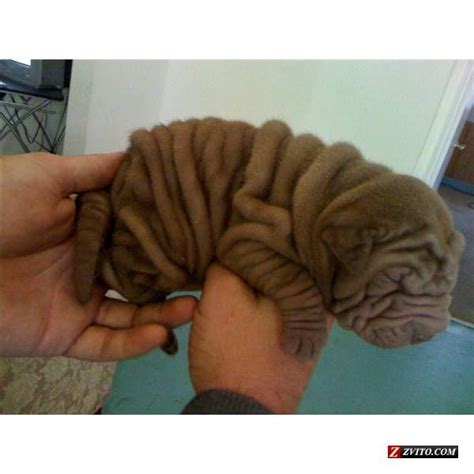 shar pei puppies for sale nc mini shar pei puppies for sale car interior design