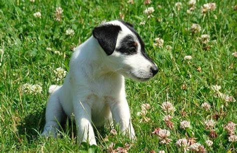 smooth fox terrier puppies gallery puppies pictures smooth fox terrier puppies pictures