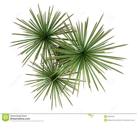 rooftop plants top view of dracaena plant in pot isolated on white stock