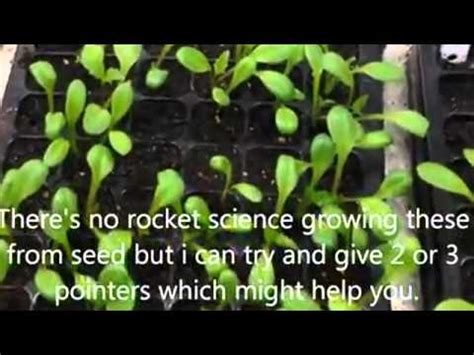 Jual Beli Bibit Bunga Dahlia khasiat umbi bunga dahlia sms 085274437336 benihbunga