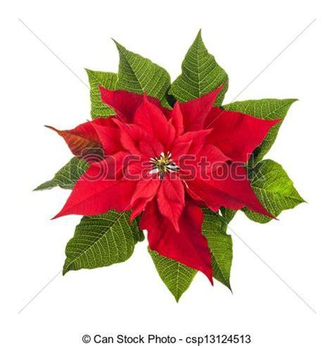 imagenes navideñas de nochebuenas stock de fotograf 237 a de planta blanco aislado flor de