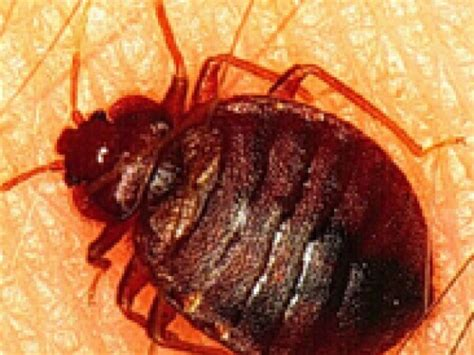 bed bugs chicago chicago named worst city for bed bugs grayslake il patch