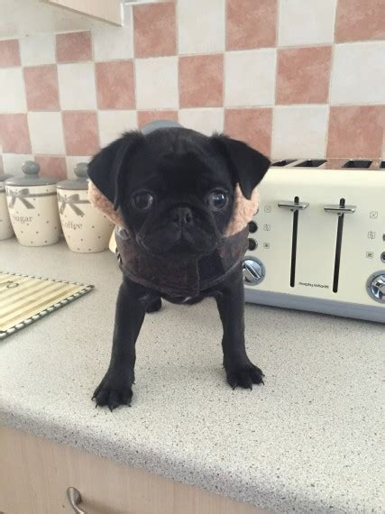 pugs for sale in leeds pug for sale leeds west pets4homes