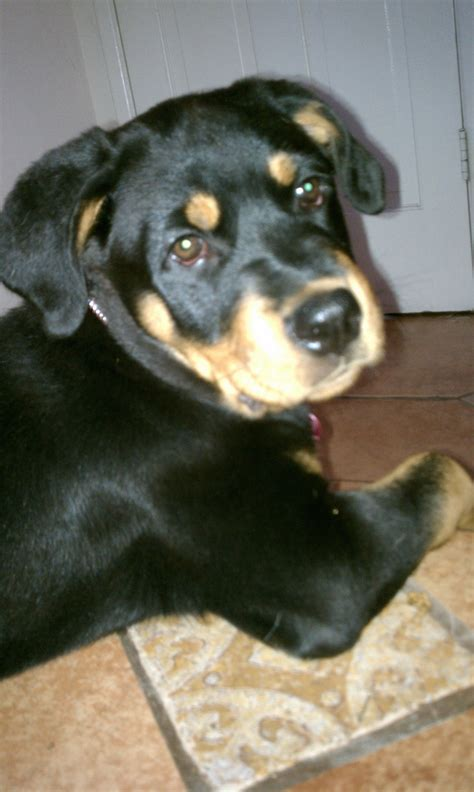 10 week puppy file 10 week rottweiler puppy 1 jpg wikimedia commons