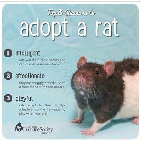 Rat Meme - 394 best images about rats love memes on pinterest