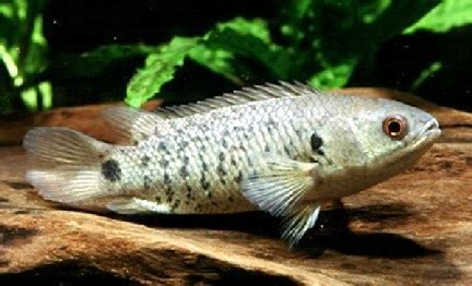 Vitamin Untuk Ikan Lele mengenal morfologi tingkah laku dan habitat penyebaran