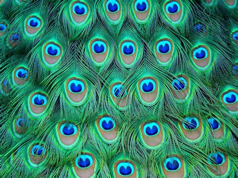 peacock template wallpapers of peacock feathers hd 2015 wallpaper cave
