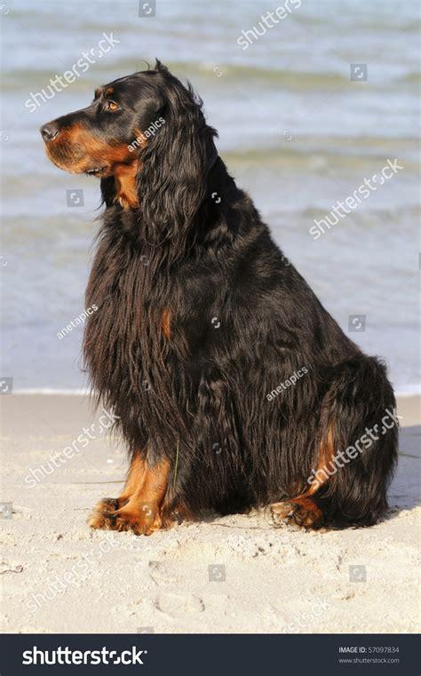 gordon setter gun dog gordon setter hunting dog female on the beach stock photo