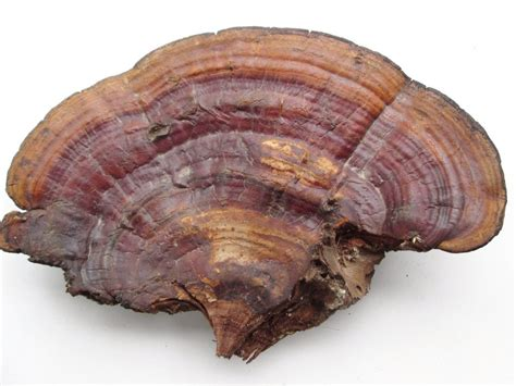 Reishi Detox Symptoms by Reishi Mushrooms Are Valuable For Liver Health