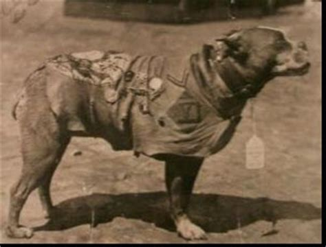 How Sergeant Stubby Died S The Pits Bulls That Is American Pit Bull Terriers